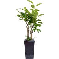 뱅갈고무나무 RW (고급시멘트분)