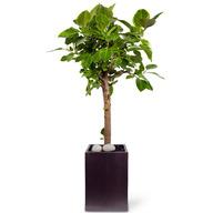 뱅갈고무나무 RKF (고급시멘트분)
