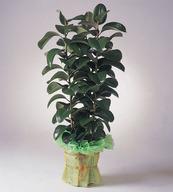고무나무(대품 키1미터50이상)FEW