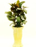 고무나무(QF)
